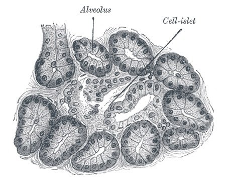 Diagram of acinar tissue.