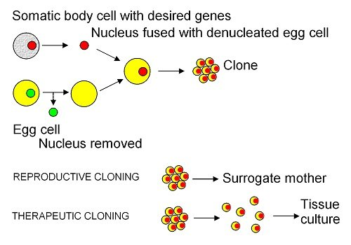 an argument in favor of cloning and nuclear transfer These prospective benefits are among the most compelling arguments in favor of cloning  another argument  the first cloning of a vertebrate by nuclear transfer .