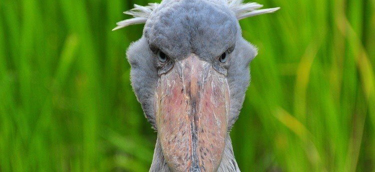 Photograph of a Shoebill (Balaeniceps rex), a bird found in tropical regions in east Africa.