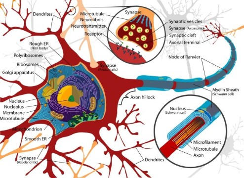 Diagram of a nerve cell.